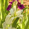 Iris - white and purple