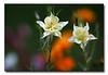 Columbine in a Garden Scene (61708534)