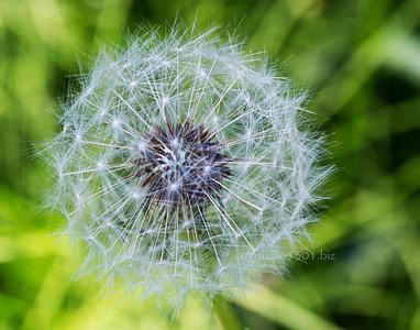 dandelion flower on green 2184 cf ProC DeX ctr dkr