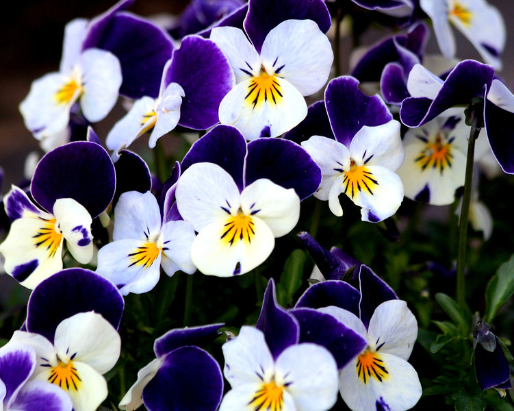 These little violas are so happy...they were voluteers but their color is striking...