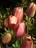Ellie's Tulips