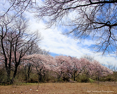 Pretty flowering trees in Spring at Eisenhower Park,NY.
