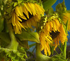 Sunflowers wilting