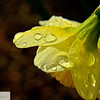 Daffodil and raindrops - 169