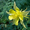 Aquilegia flower.<br /> Royal Botanic Gardens, Sydney.