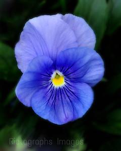 Blue, Purple, Yellow,  Pansy