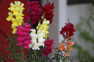 Snap Dragons