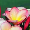 Plumeria 'Sharna's Rose'<br /> Frangipani.