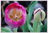 Tulips_8181