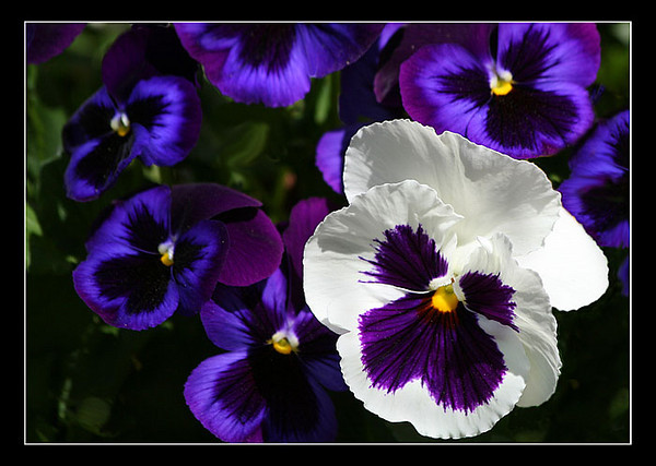 A Pansy Patch (78736387)
