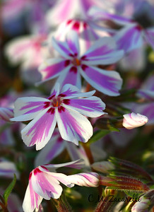 Creeping Phlox - Wallingford, CT