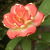 "Rose - ""Tropical Sunset"" Hybrid Tea"