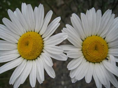 Common daisy - Bellis perennis