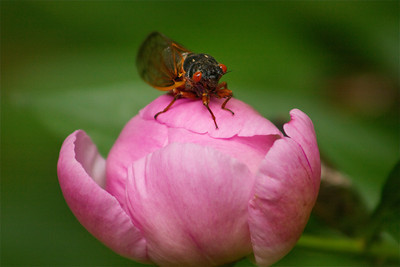 Love this picture of a cicada on my pink peony!