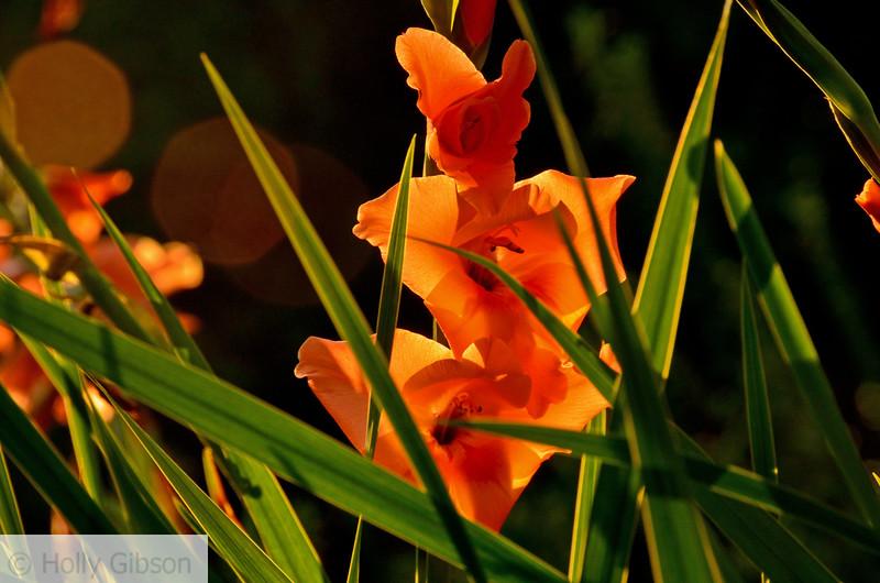 Gladiolas in the sun - 211