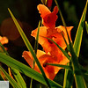 Gladiolas in the sun - 211