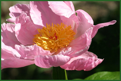 F-H-0034-13 Curly Pink Peony