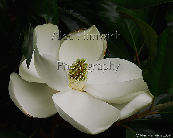 This Southern Magnolia blossom was photographed at the Arrowhead Inn in Durham, NC.