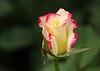 2402 - Rose