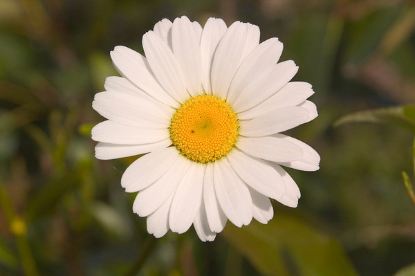 This Daisy was photographed at Cheney Lake in early July 2006.