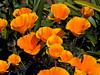 California Poppy Patch