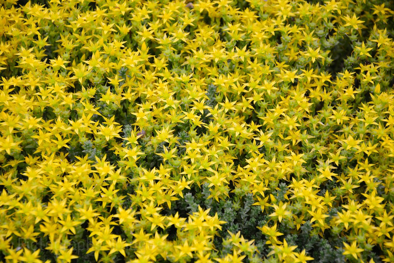 Yellow Garden Cultivars
