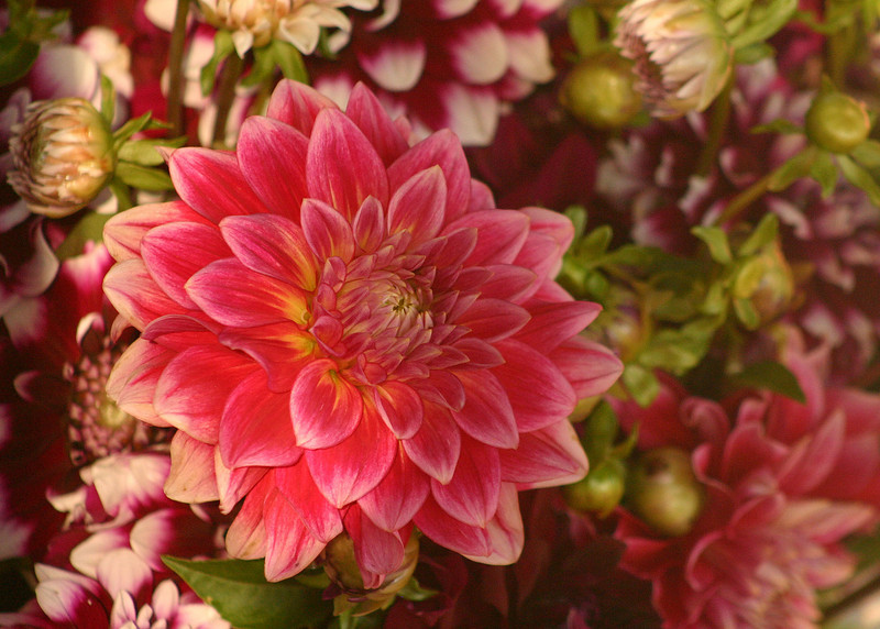 9711 - Bend Dahlia Flower