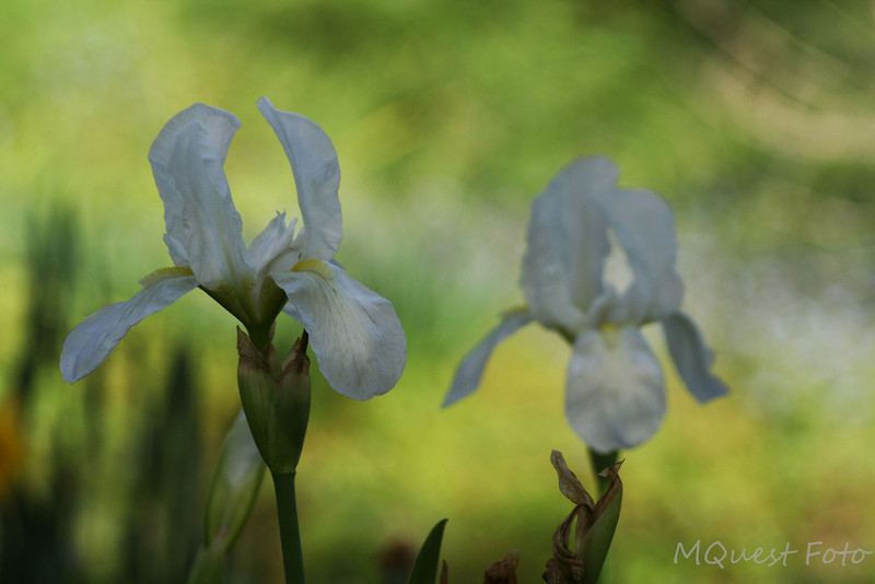 "Bearded Iris - ""Her mirror was a window<br /> She sat quite alone"""