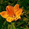 Calistoga Sun Daylilies