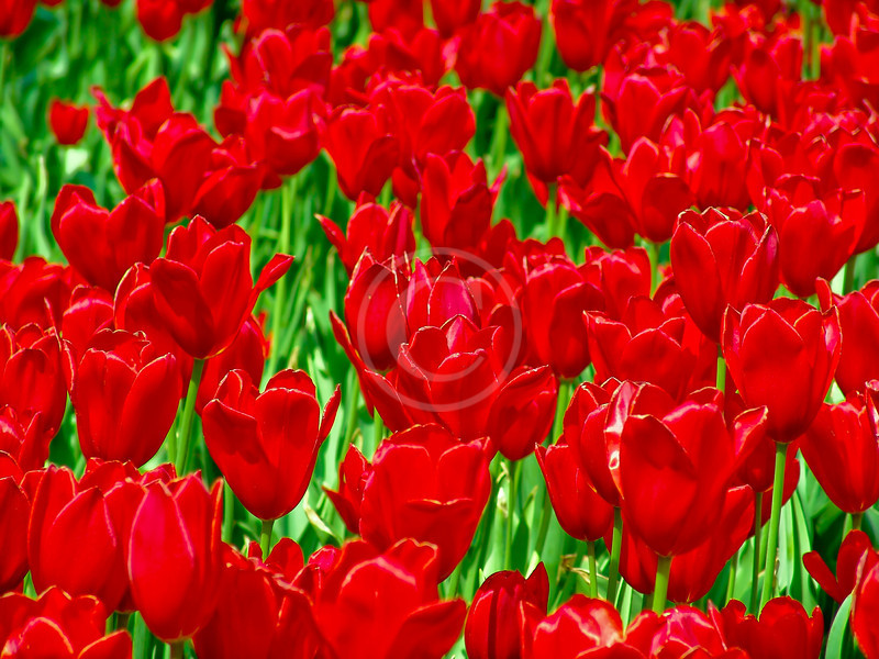 Red tulips in Kansas City
