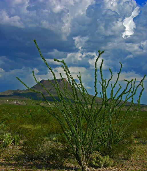 Lone Ocotilla Cactus, Big Bend National Park