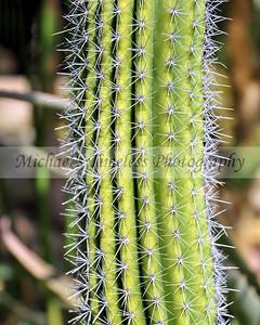 Organ Pipe Cactus - 8 x 10