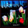 Canada 150, Tulips