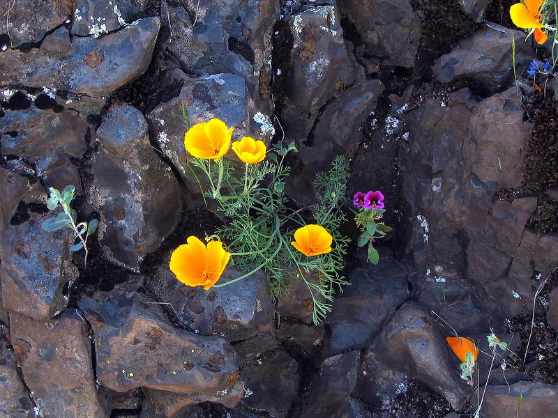 Poppies in Granite