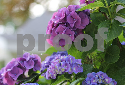 Fuchsia Hydrangea