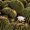 Single Cactus Blossom