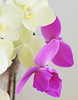 White and Purple Moon Orchids
