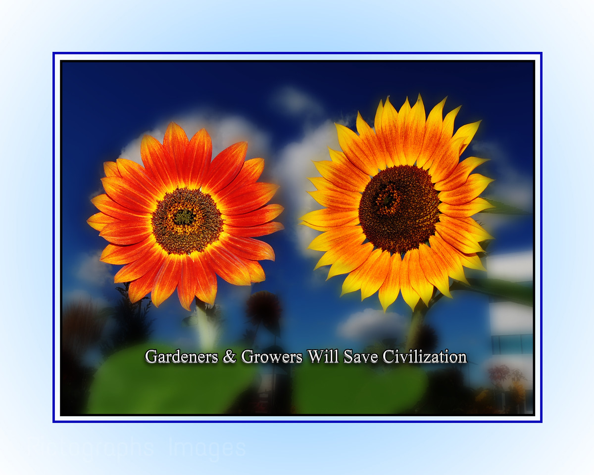 Growing Garden Sunflowers;Quote; Gardeners & Growers Will Save Civilization, Rictographs Images