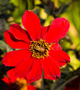 Bee_Red flower 1255