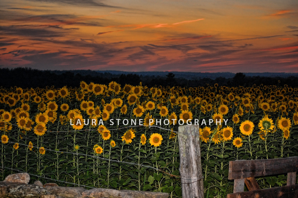 Sunflowers, sunset, summer, sky, field, yellow, flower, fence, farm, outdoors, cheerful