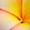 Plumeria. Frangipani flower.