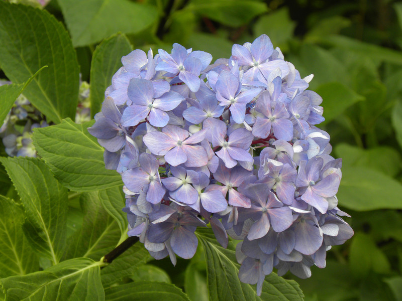'Nigra' - Big Leaf Hydrangea; Binomial name- Hydrangea macrophylla;  is species of Hydrangea native to Japan.; Genus- Hydrangea; Family- Hydrangeaceae