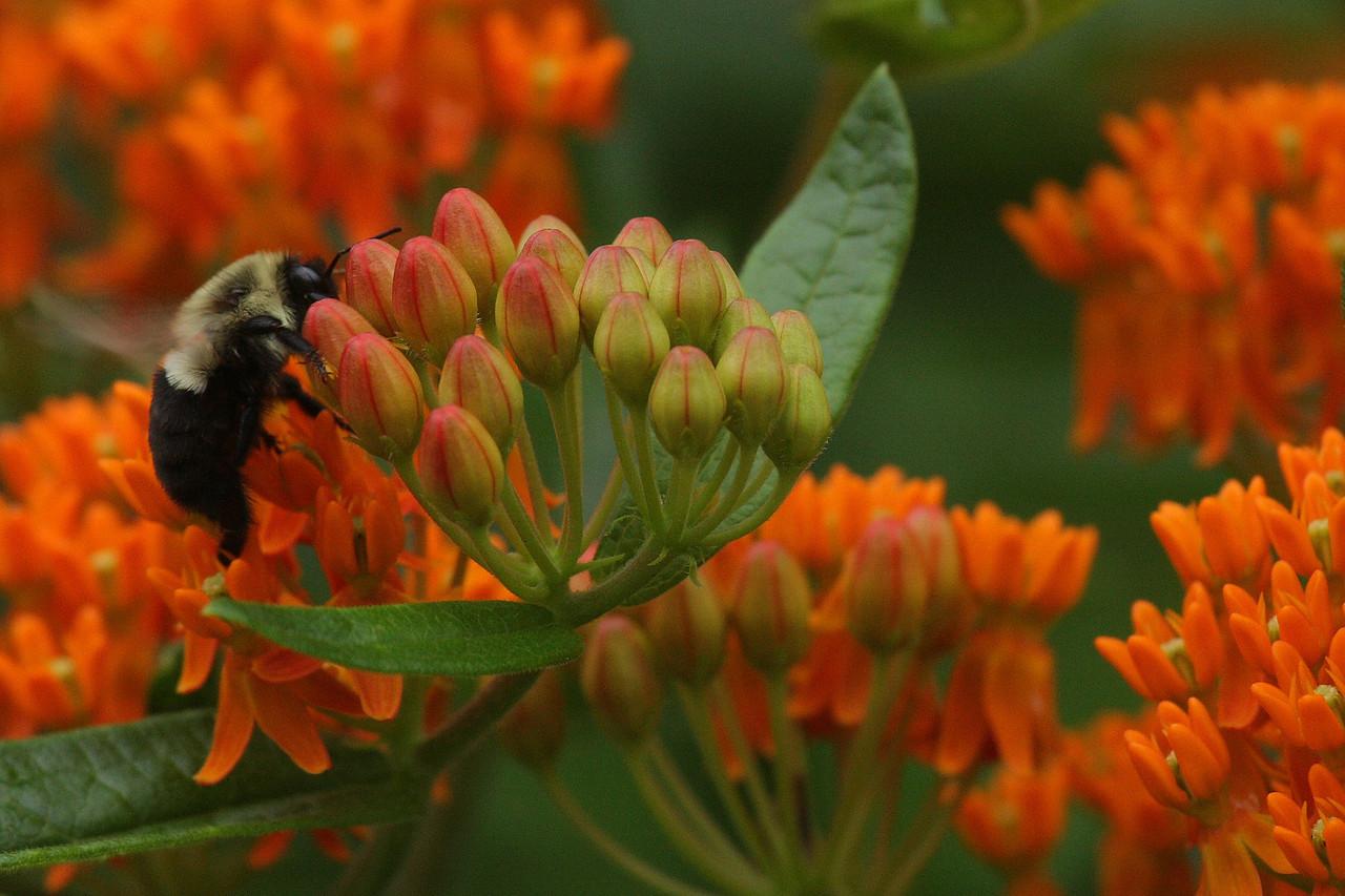 IMG4_38182 bee, flowers DPPtrm