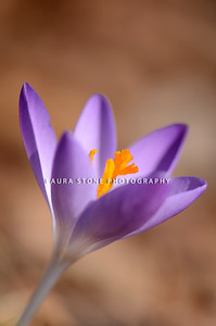 Purple crocus (Crocus Vernus) pushing its way up to the early spring sun
