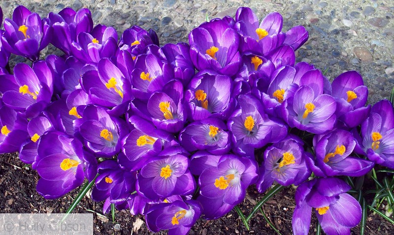 Purple Crocus - 45