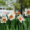 Daffodils in Toronto