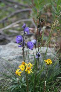 Mountain Monkshood - Aconitum delphiniifolium Black-Tipped Groundsel - Senecio lugens