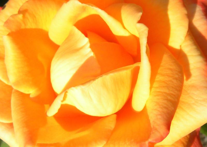 """Rose - """"Caribbean"""" Grandiflora"""