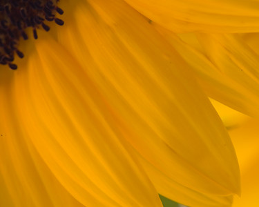 Sunflower petals and part of center