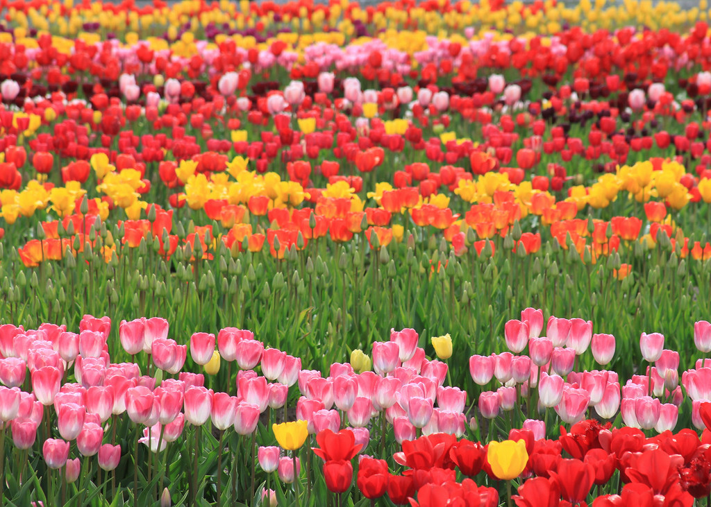 Rows of beautiful tulips